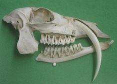 """Musk Deer skull: You're not seeing things, and it hasn't been photoshopped. That really is a picture of a deer with fangs--or more correctly tusks. This is the skull of a musk deer. Musk deer aren't considered """"true"""" deer as they belong to the family Moschidae, and true deer to the family Cervidae. Among the Cervidae, there are three species with tusks; the muntjac, the tufted deer and the Chinese water deer. And sometimes even white-tailed deer sport a set of nasty canines."""