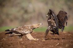 Animal Action, Bald Eagle, Owl, Bird, Animals, Animales, Animaux, Owls, Birds