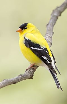American Yellow Finch - I once had 12 on my feeder at one time. Amazing to look at...