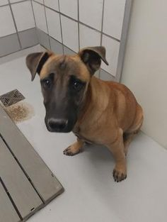 35526678 Species Dog Breed Shepherd/Mix Age 6 months 4 days Gender Male Size Medium Color Brown Spayed/Neutered Site Department of Animal Services, City of El Paso Location Kennel A Intake Date 6/14/2017