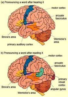 Models of Spoken and Written Language Functions in the Brain from The Brain from Top to Bottom. Pinned by SOS Inc. Resources. Follow all our boards at http://pinterest.com/sostherapy for therapy resources