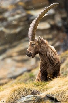 The King of the Alps by Marco Franzini..not sure but I think this is the Alpine ibex or Capra ibex..mountain goats of the European Alps