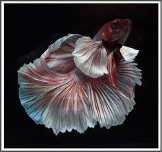 AquaBid.com -  DM001 (Male) - Red Sakura By Thanont Betta