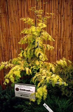 "Metasequoia glyptostroboides ""Gold Rush"""