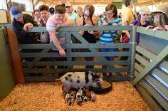 Mini pigs at the 2014 Salt Spring Island Fall Fair