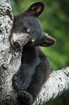 Little black bear cub sleeping safe in a tree. Grizzly Bear Cub, Bear Cubs, Polar Bear, Bears, Cute Baby Animals, Animals And Pets, Black Bear Cub, Wooly Bully, Love Bear