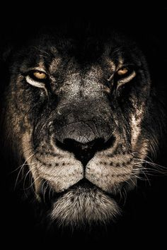 Dark Lion as Premium Poster by Wouter Rikken Lion Images, Lion Pictures, Tier Wallpaper, Animal Wallpaper, Lion Wallpaper Iphone, Portrait Girl, Lion Noir, Lion Photography, Window Photography
