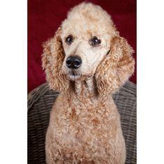 Peppi studiokuvassa. Rakenneltiin pieni kotistudio muutamaa testipotrettia varten. #dogportrait #dogsofinstagram #dogs #doginstudio #koirakuva