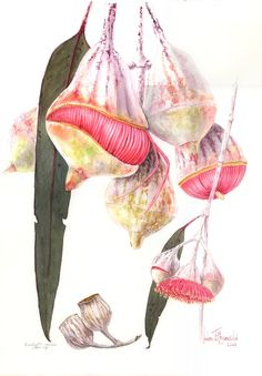 E caesia 985 | Helen Fitzgerald - Botanical & Wildlife artist | Helen Fitzgerald