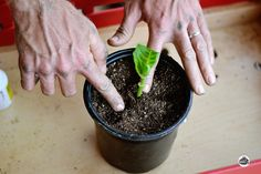 Expand your gardening by starting new plants from cuttings. Propagation your plants from cuttings is a valuable skill to have as your garden grows. Container Gardening, Gardening Tips, Hydrangea Bush, Hydrangea Garden, Plant Cuttings, Free Plants, Growing Plants, Growing Flowers, Growing Vegetables
