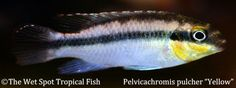 "Pelvicachromis pulcher Yellow ""Common Kribensis"""