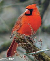 A red Cardinal My Favorite....