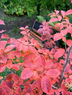 Japansk skenkamelia, Stewartia pseudocamellia