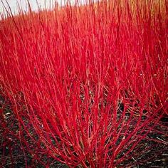 Red Twig Dogwood | The Tree Center™