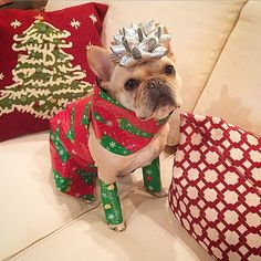 French Bulldog dressed to the nines for Christmas