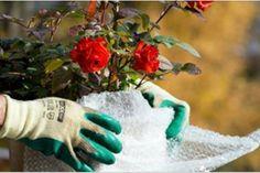 Cel mai simplu elixir pentru o înflorire bogată a mușcatei - Fasingur Fingerless Gloves, Arm Warmers, Winter, Floral, Gardening, Plant, Fingerless Mitts, Winter Time, Cuffs