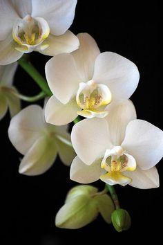 """flowersgardenlove: """" White Phalaenopsis O Flowers Garden Love """""""