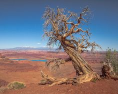 Ancient Juniper at Dead Horse State Park, Utah. Photograph by James Seith
