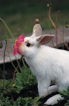 If you are looking for a furry companion that is not just extremely cute, but very easy to keep, then look no further than a pet bunny. Bunny Love, Cute Bunny, Big Bunny, Bunny Bunny, Beautiful Creatures, Animals Beautiful, Beautiful Flowers, Baby Animals, Cute Animals