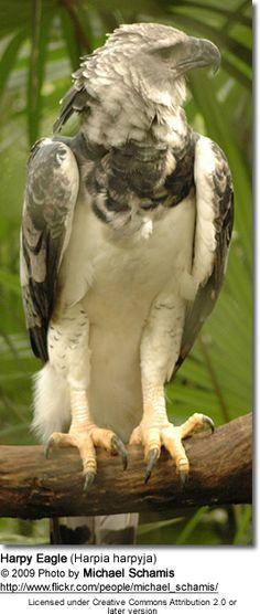 Harpy Eagles or American Harpy Eagles (Harpia harpyja): Origin, Description, Photos, Diet and Breeding Darien National Park, National Parks, Harpy Eagle, Bald Eagle, Birds Of Prey, Animals Of The World, Beautiful Birds, Beautiful Creatures, Eagles