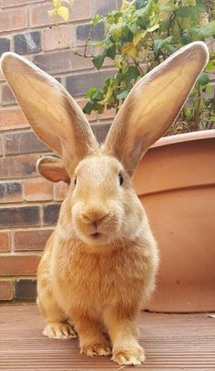 News Story On Young's Funny Farm Therapy Animals. Animals Of The World, Animals And Pets, Baby Animals, Cute Animals, Bunny Toys, Bunnies, Flemish Giant Rabbit, Little Bunny Foo Foo, Cute Bunny Pictures