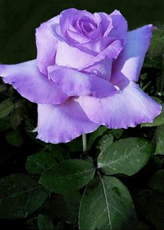 Lavender Roses, Purple Flowers, Rose Tattoos, Beautiful Roses, Nature Pictures, Pretty Flowers, Shrubs, Flower Designs, Different Colors