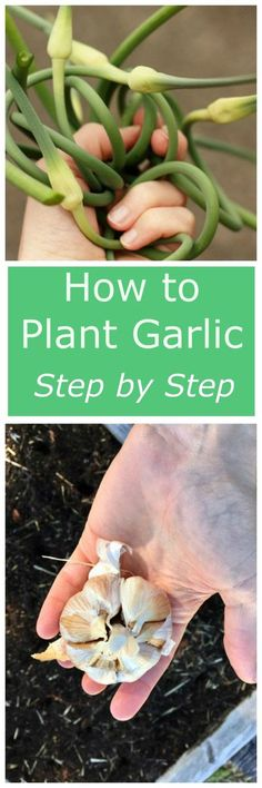 Tomato Gardening For Beginners - How to Plant Garlic - learn to plant the easiest garden crop ever! Growing garlic is so simple, even the newest gardener can master it. Veg Garden, Easy Garden, Garden Ideas, Veggie Gardens, Tomato Garden, Growing Veggies, Growing Herbs, Gardening For Beginners, Gardening Tips