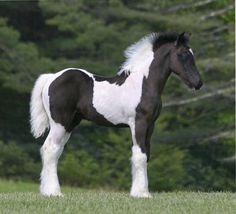 #horses  Gypsey Vanner cutie pie!!!!