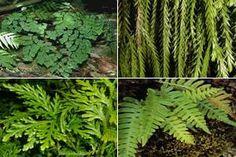 Exemplos de esporófitos que ocorrem em pteridófitas.As pteridófitas são vegetais vasculares.pequenas e sem sementes, geralmente com alguns poucos centímetros de altura, vivendo em lugares úmidos e sombreados, atualmente divididas em quatro Filos: Psilophyta, Lycophyta, Sphenophyta e Pterophyta (o filo das samambaias).