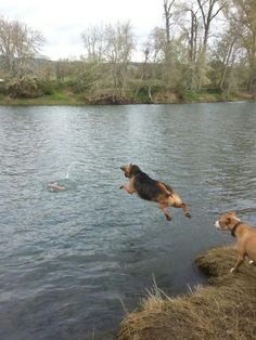 Crazy Daisy fetching a stick. The blood hound that loves water.