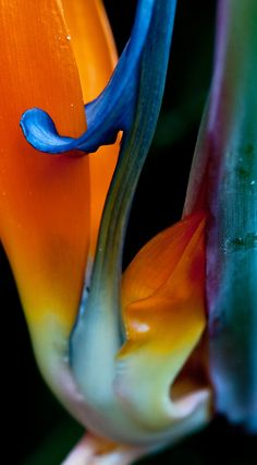 strelitzia reginae | colors of bird of paradise flower