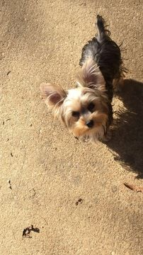 Yorkshire Terrier Puppy For Sale In Montgomery Al Adn 55430 On