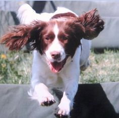Darcie is a bouncy spaniel who loves tennis balls available to adopt from the charity North West English Springer Spaniel Rescue http://www.charitychoice.co.uk/blog/six-specialist-dog-breed-rescue-shelters/99