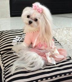 "Diva ""Lily"", age 3,  wants to be a fashion model. She is a Maltese."