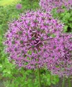 "ALLIUM AFLATUNENSE PURPLE SENSATION  Globe-like 4""-5"" clusters of vivid violet-purple, star-shaped florets. Bulb size: 12 cm/up. May/June. 24"" to 30"". HZ: 4-8."