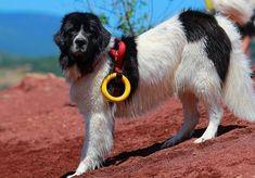 maiores raças de cães do mundo Landseer