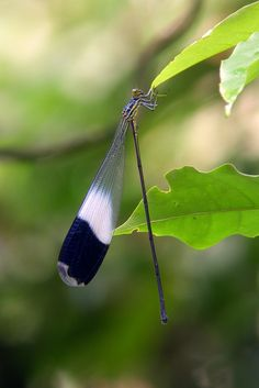 Helicopter Damselfly (Megaloprepus sp.) by Scott Olmsead #Insects #Damselfly