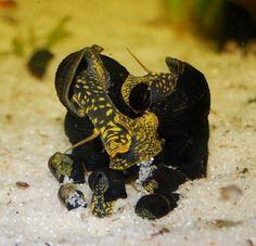 Чувствуют себя хорошо в компании с маленькими креветками (в том числе с Сулавесскими креветками), небольшими сомиками и ненавязчивыми рыбами. Очень активные и сразу приступают к изучению новой обстановки.