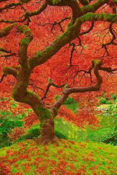 The Barbol Awards - Here is the best of 2012 that The big Tree Society and our pals came across in 2012 . Many folks have sent these in, credits are a bit difficult, but we totally and respectfully. Beautiful World, Beautiful Places, Beautiful Pictures, Japanese Maple, Big Tree, Pics Art, Amazing Nature, The Great Outdoors, Wonders Of The World