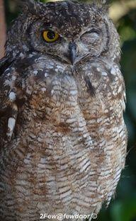 Grannie Banana: Cape Eagle Owl