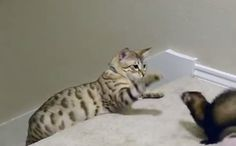 Daily Cute: Ferrets Play With a Snow Bengal Cat