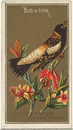 Bob-o-link, from the Birds of America series (N4) for Allen & Ginter Cigarettes Brands