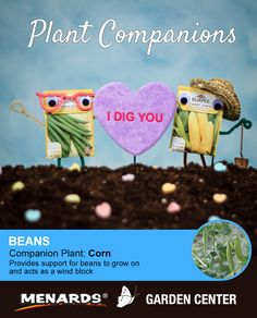 Beans and corn make a great pair! Learn how companion planting will help you get more from your garden. http://www.menards.com/main/c-19320.htm?utm_source=pinterest&utm_medium=social&utm_campaign=gardencenter&utm_content=companion-plants&cm_mmc=pinterest-_-social-_-gardencenter-_-companion-plants