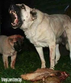 <p>This is a side blog dedicated to Kangal dogs and Boz shepherd dogs!</p><p>It showcases the daily life of Turkey's most renowned livestock guardian dog breeds along with the good, the bad, and the bloody of it all, so there will occasionally be (often violent) photos of both intraspecies and interspecies conflict and dead animals -- mainly wolves.</p><p>I get most of my content from several groups and pages on Facebook. </p><p>I'm not as active as I'd like to be but I post as often as I… Huge Dogs, Giant Dogs, Caucasian Dog, Kangal Dog, Anatolian Shepherd, Street Dogs, Animals Images, Cute Baby Animals, Dog Pictures