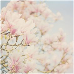 white magnolia tree flower color photo print whimsical fine art nature... ❤ liked on Polyvore featuring home, home decor, wall art, backgrounds, pictures, photos, flowers, filler, blue picture and photo picture