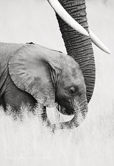"""An Elephant Calf:  """"Safely At The End Of Mom's Trunk.""""                                                                                                                                                     More"""