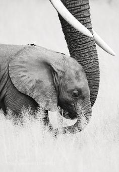 amo ! elefantes