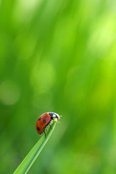Lady bug # lieveheersbeestje.