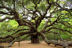 1500 year old Angel Oak Tree in South Carolina. I would love to know where this tree is so the next time I visit South Carolina, maybe I could go see it.