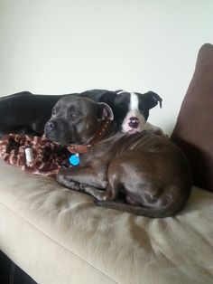 English and American Staffordshire Bull Terriers.
